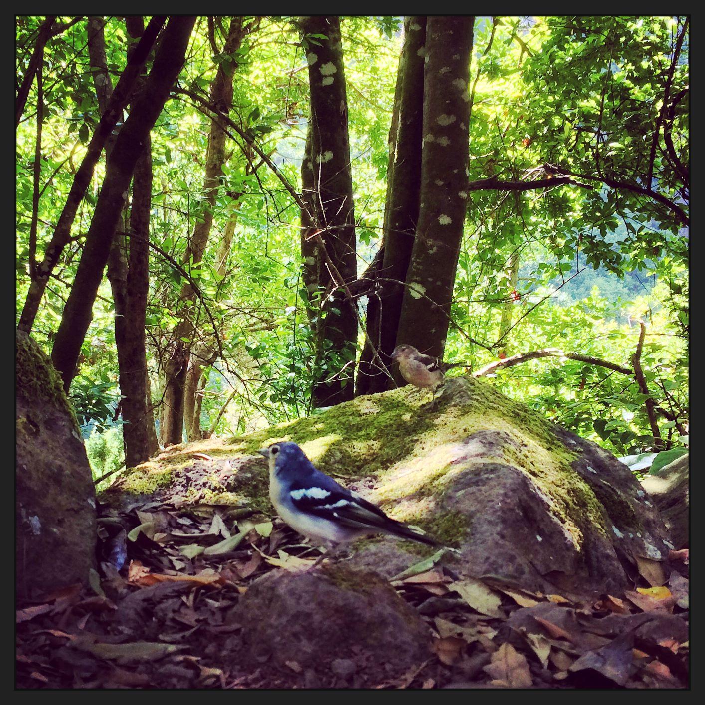 bosque encantado pinzon vulgar